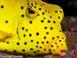 "Yellow box fish - posing ""sitting"" relatively still . by Bill Van Eyk"