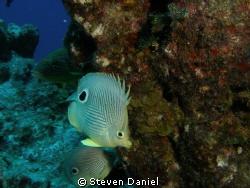 Two eyed butterfly fish by Steven Daniel