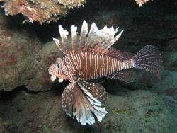 Cook Island Lion Fish. Olympus C-8080 wide zoom / olympus... by Quentin Long