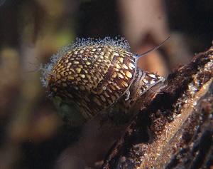 mating common nerite  (Theodoxus fluviatilis) Lake Plu... by Chris Krambeck