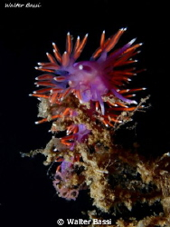 Flabellina by Walter Bassi