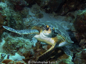 Green turtle swimming at the same depth...