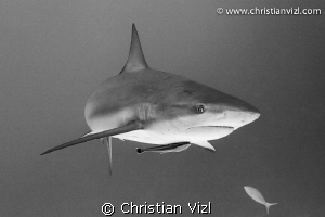 Caribbean Reef Shark with a remora at coral reef of Jardi... by Christian Vizl
