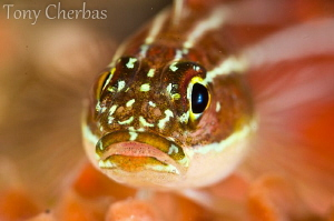 Triplefin by Tony Cherbas