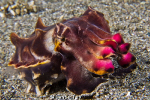 Flamboyant Cuttlefish by Lance Teo