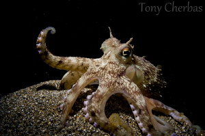 Coconut Octopus... the entertainer. by Tony Cherbas