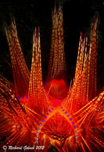 Fire Urchin -Lembeh by Richard Goluch
