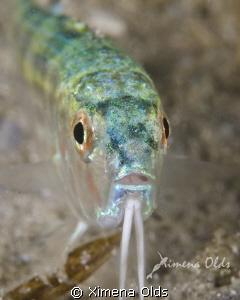 Red Goatfish, Mullus auratus. Uncommon around here... by Ximena Olds
