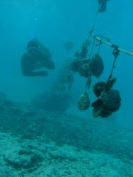 Diver checking the black lip oysters at a pearl farm in A... by Quentin Long