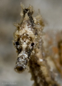 Juv. Hippocampus 3/4 inch long.   He was there on one div... by John Roach