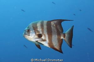 spade fish by Michael Drumstas