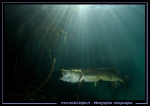King Pike fish.... by Michel Lonfat
