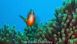 A cheeky clownfish watching me whilst i watching him by David Crutchley