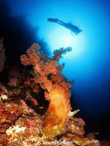 Underwater tree Alcyonaria, Menjangan Island, Bali by Alberto Gallucci