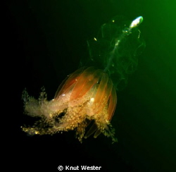 a deep water jeelyfish photografed at 5 meters depth by Knut Wester