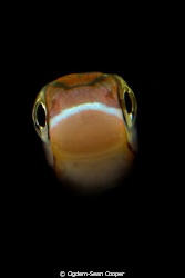Fangblenny by Cigdem-Sean Cooper