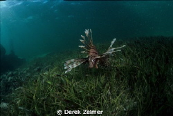 Curious lionfish. Nikonos V with Sea and Sea 12mm by Derek Zelmer