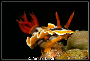 Nudi at One to Two, Yap Island, Micronesia by Dieter Kudler
