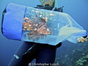 Lionfish ...it's what for dinner...