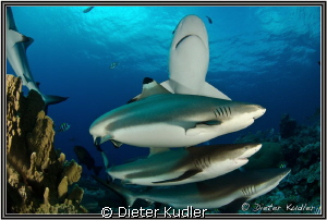 Sharks at Vertigo, Yap Island, Micronesia. D7000, 10mm, 1... by Dieter Kudler