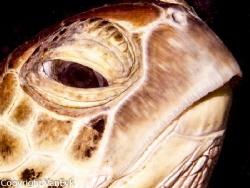 Green turtle (Chelonia mydas) one of species turtles arou... by Bill Van Eyk