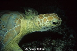 Sea turtle at night. Nikonos V, 28mm lens with closeup at... by Derek Zelmer