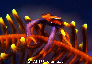 crinoid crab by Afflitti Gianluca
