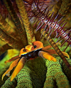 """""""Crinoid Squat Lobster""""   Taken in Cabilao, Philippines by Henry Jager"""