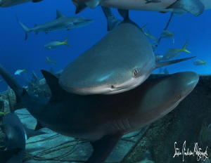 Reef Sharks are fast and very acrobatic! Sharks to Sharks... by Steven Anderson