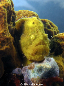 Yellow Frogfish by Abimael Márquez