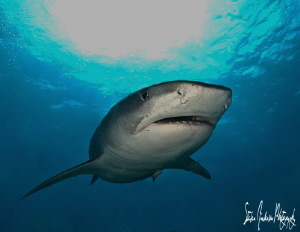 One of my favorite sharks at one of my favorite spots- Ti... by Steven Anderson