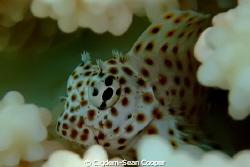 juvenile leopard blenny. by Cigdem-Sean Cooper