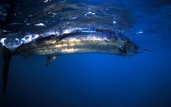 Sailfish South Africa by Marc Montocchio