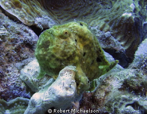 Frogfish at Capt Don's, Bonaire by Robert Michaelson