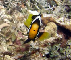 Anemone fish in PNG by Jo Watson