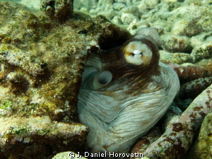 Octopus ducking into its pipe-den after traversing the reef. by J. Daniel Horovatin