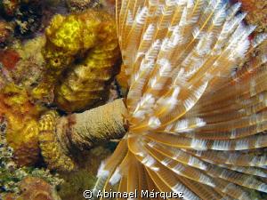 Yellow seahorse by Abimael Márquez