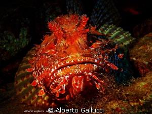Scorpaena scrofa by Alberto Gallucci