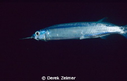 Ballyhoo that swam into my closeup framer at night. Nikon... by Derek Zelmer