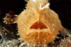 Hairy frogfish Aniloa, the Philippines by Mickle Huang