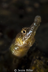 Bay Pipe Fish - Puget Sound Seahorse by Jesse Miller
