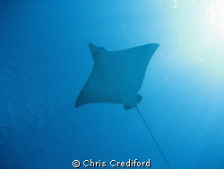 Eagle Ray on the final dive of the trip.  Great way to en... by Chris Crediford