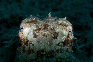 Cuttlefish Snoot: No edits from RAW file by Tony Cherbas