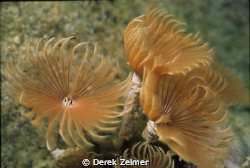 Social feather duster. Nikonos V, 28mm with extension tube. by Derek Zelmer