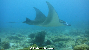 Mantas swam passed out of nowhere, the water was not very... by Helen Hansen
