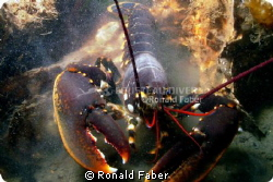 An European lobster in the Zeeland Oosterschelde. by Ronald Faber