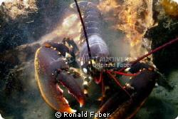 An European lobster in the Zeeland Oosterschelde. by Ronald Faber