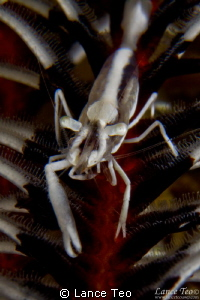 Crinoid shrimp on feather star by Lance Teo