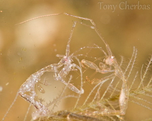 Skeleton Fight! Two skeleton shrimp in a boxing match. by Tony Cherbas