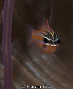 Cardinal fish with an attitude. by Marylin Batt